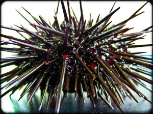 Шаровидный морской еж / Strongylocentrotus nudus